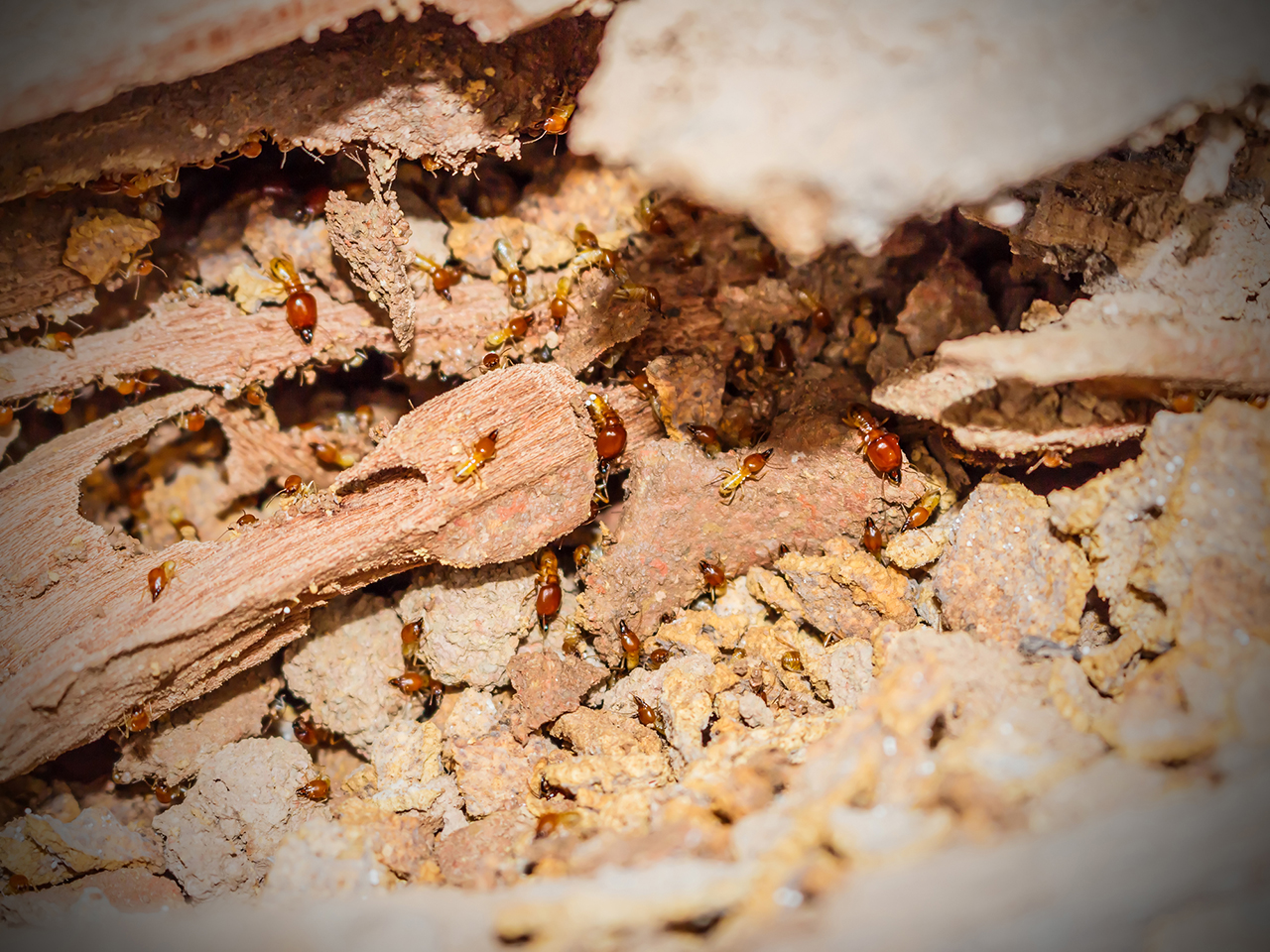 How to Get Rid of Termites at Your Home